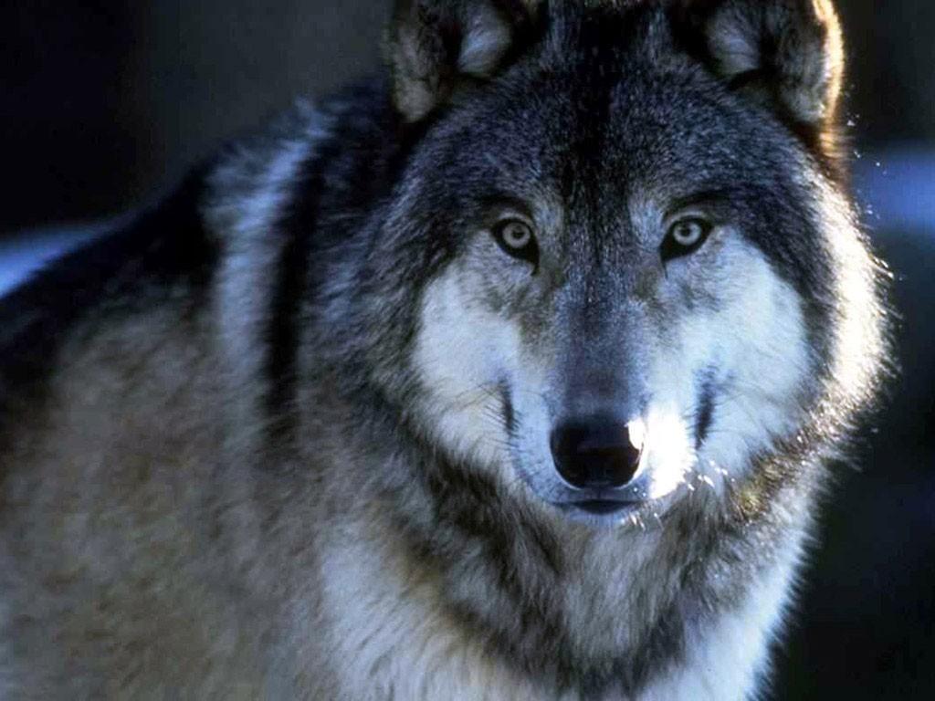 ВРостовской области зарегистрировано восемь случаев нападений волков