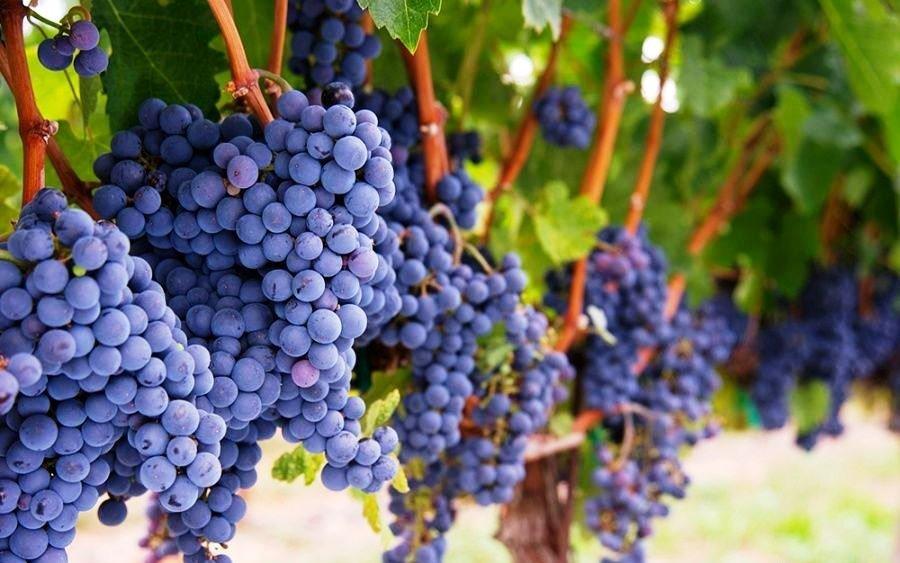 ВГеленджик непустили неменее 2-х тонн зараженного винограда