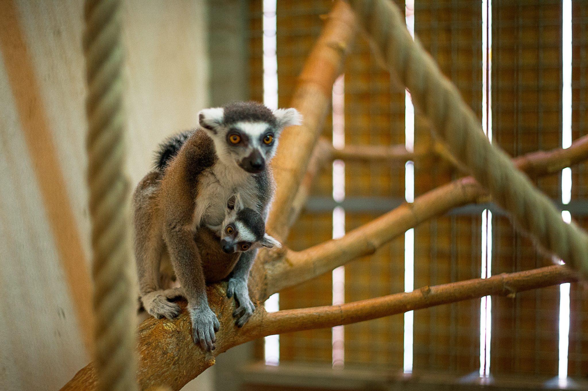 Вростовском зоопарке родился детеныш кошачьего лемура