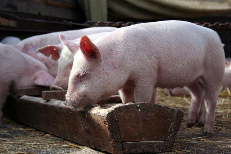 ВМорозовском районе ввели режимЧС из-за африканской чумы свиней