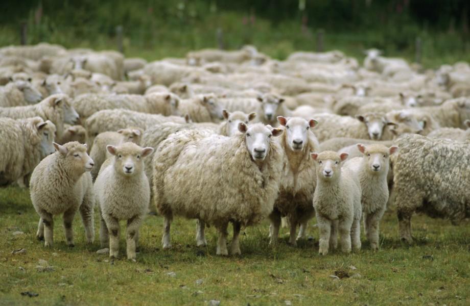 НаДону задержали 420 дагестанских овец