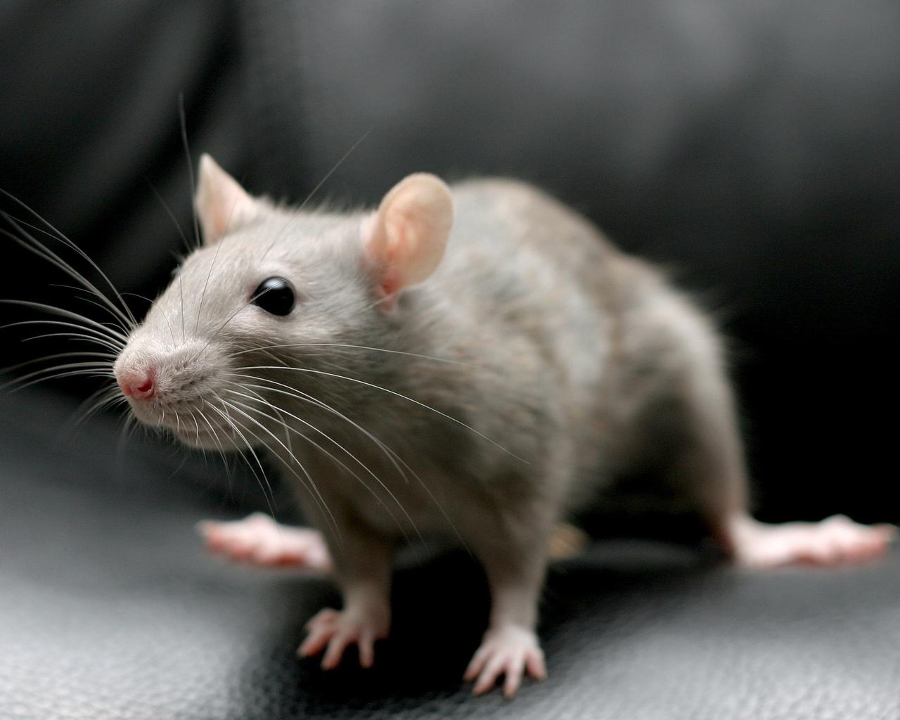 Нажителя Дона вдоме напала бешеная мышь, мужчина госпитализирован