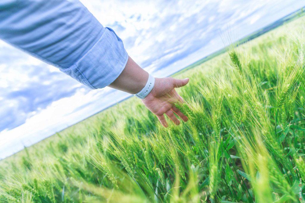 Пшеница //Фото: Денис Демков