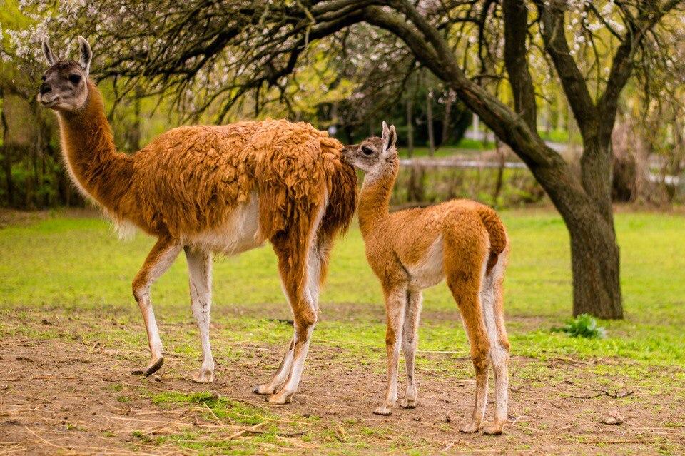 1-ый  праздник: вРостовском зоопарке отметили день рождения ламы гуанако