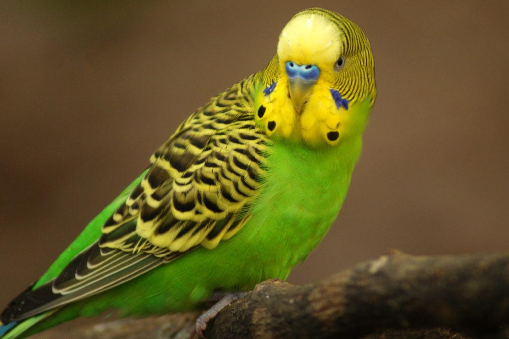 ВРостовской области пресекли преступный  ввоз неменее  50 попугаев