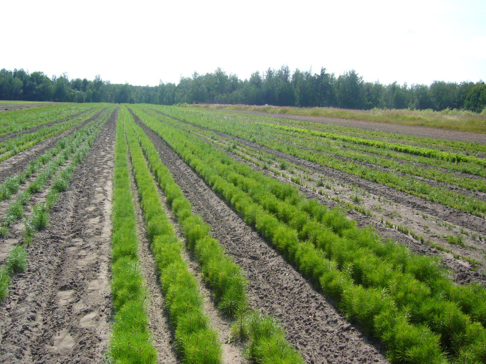 фото посева лесного питомника изготовлении используются