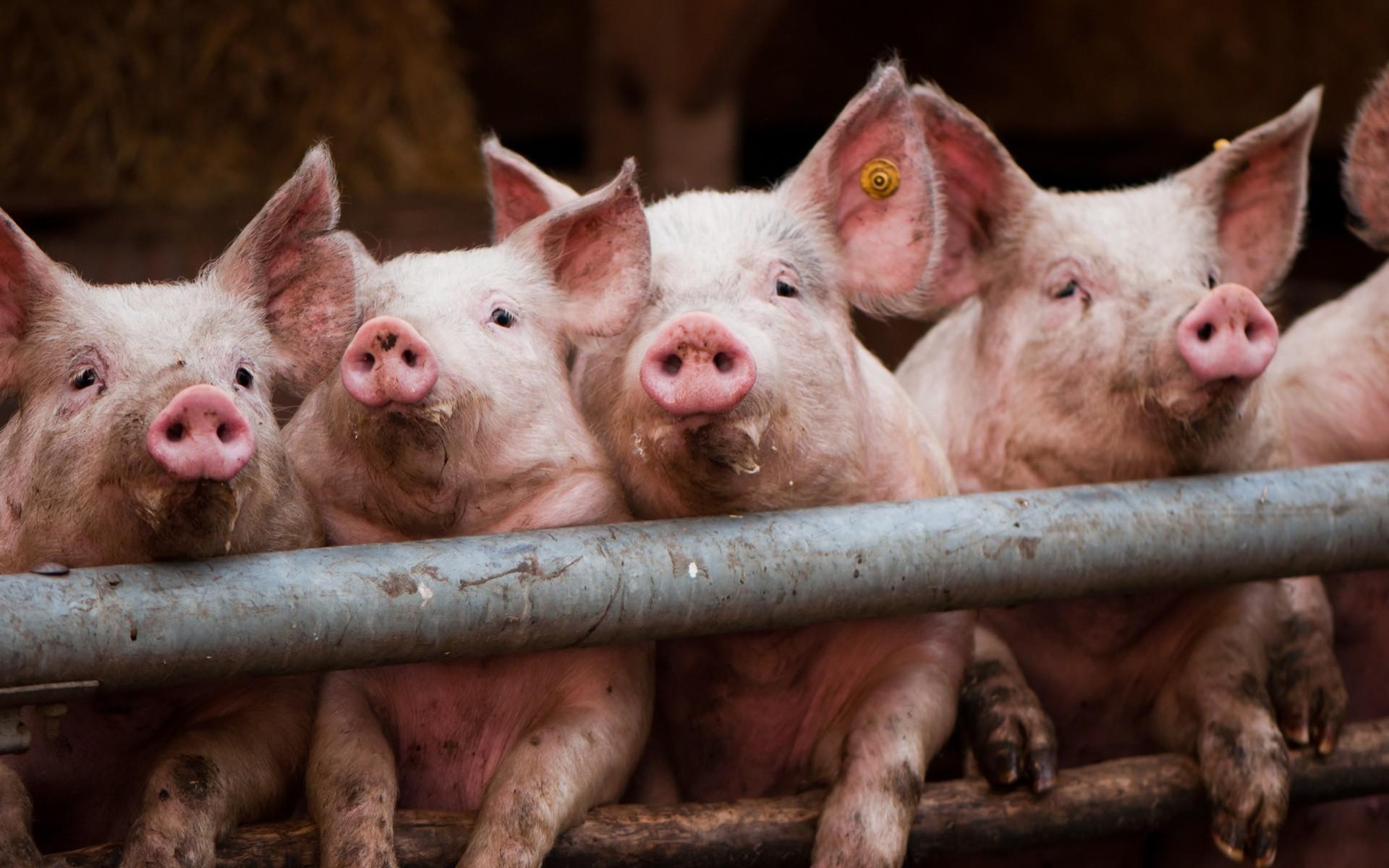 afrik chuma sviney Украина установила антирекорд поколичеству вспышек чумы свиней