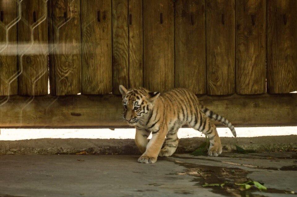 Ростовский зоопарк покажет родившегося летом тигренка