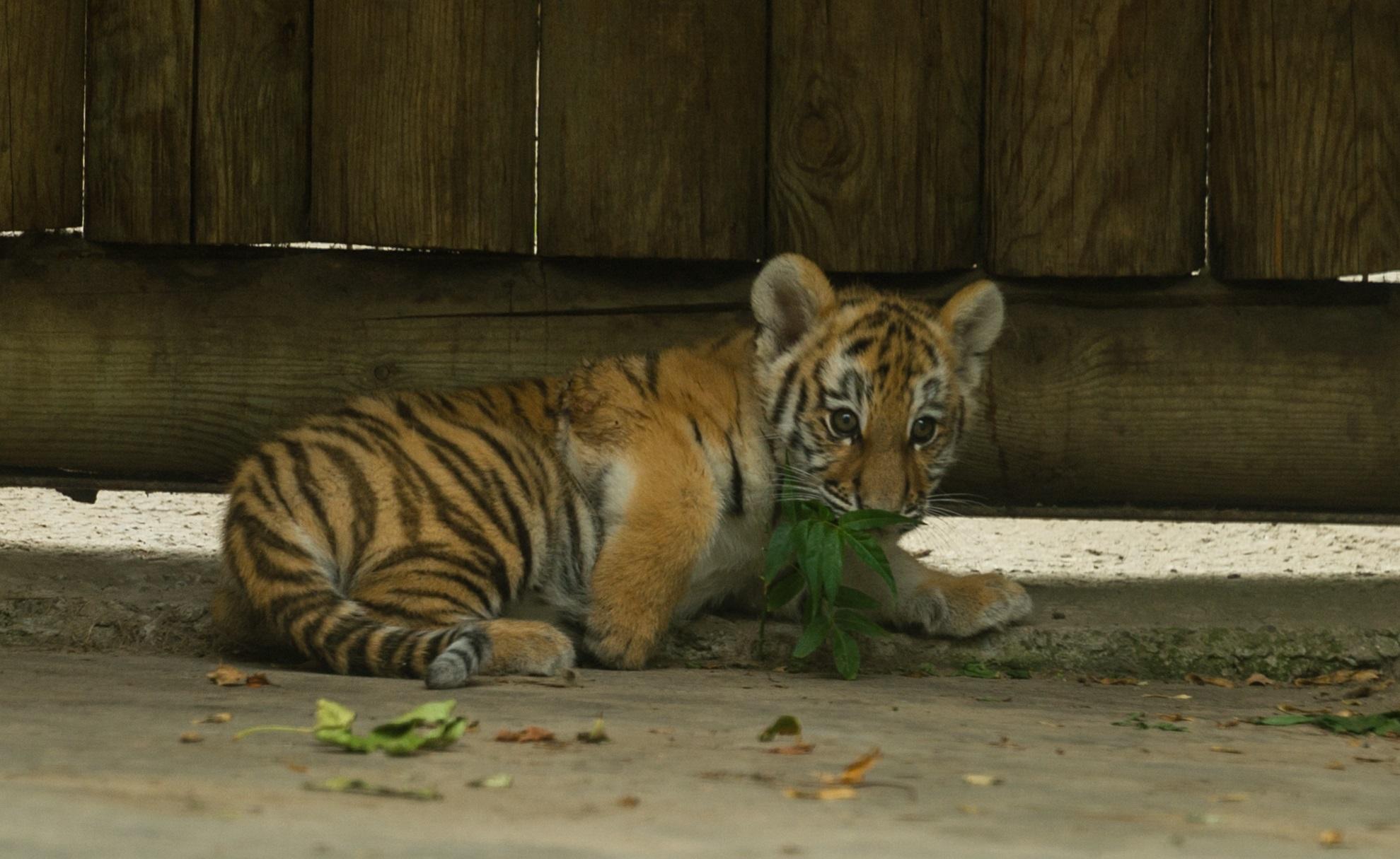 Горожане выдумывают имя для маленькой тигрицы иззоопарка вРостове