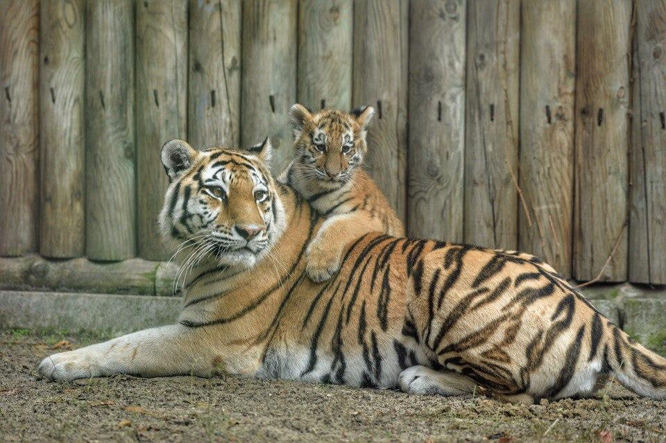 ВРостове выбрали имя для тигренка Примы иУстина