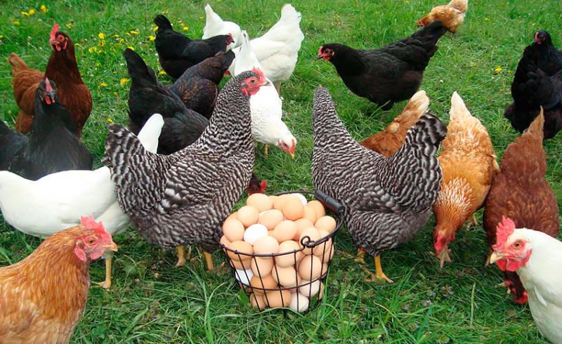 Курица, куры, яйца// Фото: Svoimi-Rykami.ru