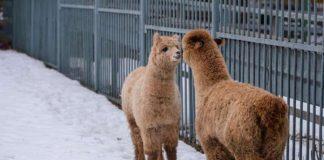 Самца и самку альпака поселили в одном вольере Ростовского зоопарка //Фото: Дон-ТР