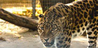 Леопард//Фото: пресс-служба администрации Ростова