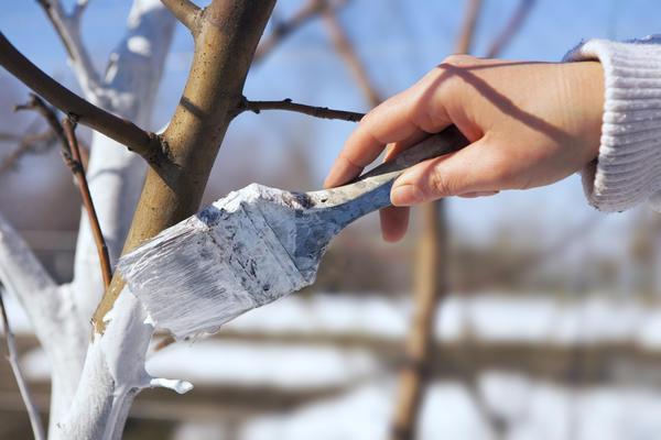 Побелка деревьев//Фото: 7Dach.ru