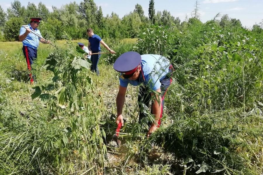 Волгодонск конопля астана семена конопли