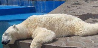 Белый медведь Айон жарким днем в вольере Ростовского зоопарка //Фото: паблик Ростов Главный в соцсети ВКонтакте