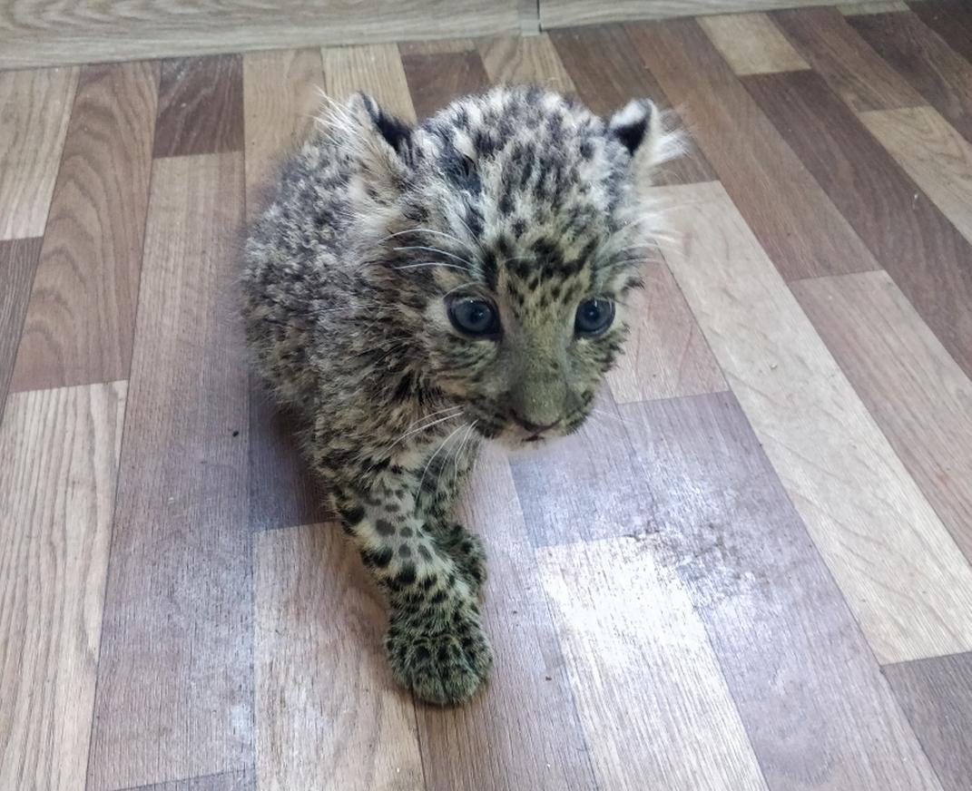 леопард//Фото: пресс-служба Южного таможенного управления