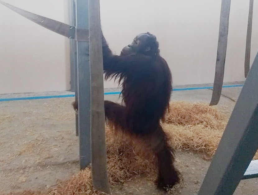 Орангутан Цезарь//Фото: ростовский зоопарк