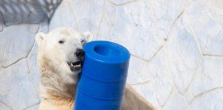 Белый медведь с игрушкой//Фото: пресс-служба ростовского зоопарка