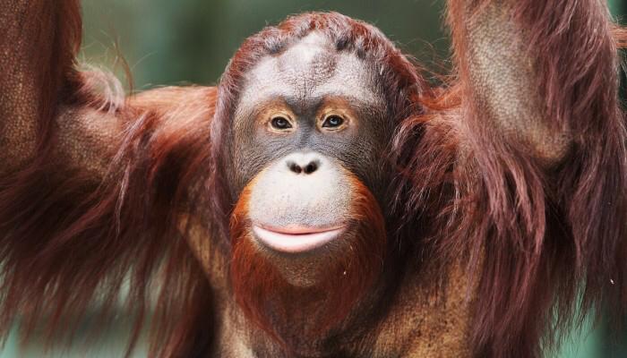 борнейский орангутан//Фото: Ростовский зоопарк