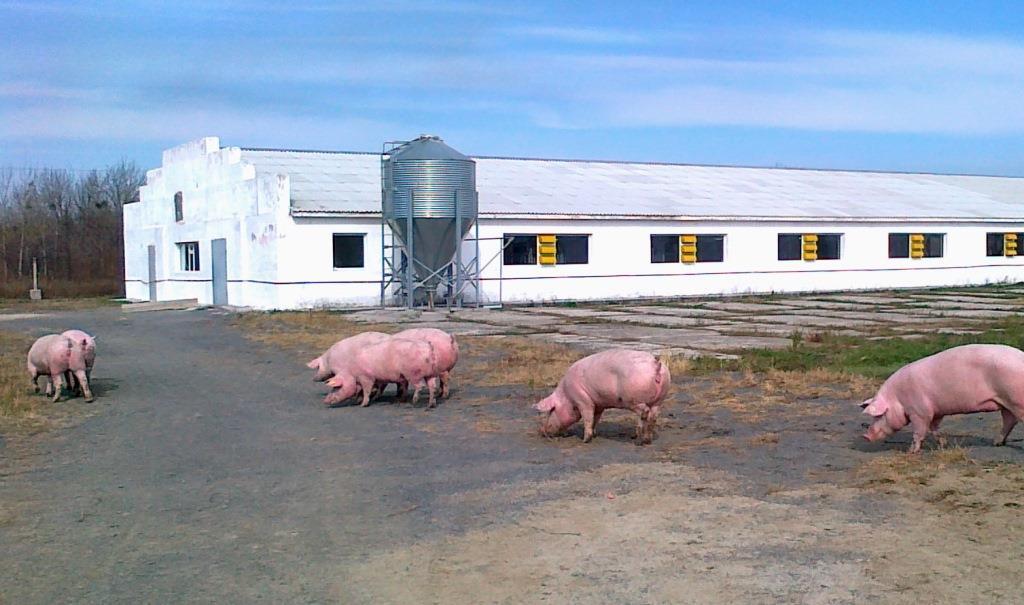 Крупный свинокомплекс будет построен в Ростовской области к 2023г //Фото с сайта goldenmost.ru