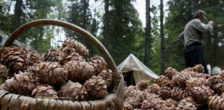 Сбор шишек//Фото: Tomsk.Ru