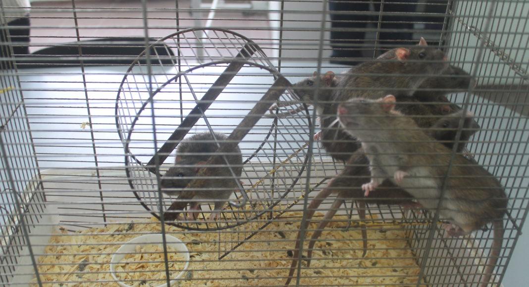 Крысы лаборатории центра нейротехнологий // Фото: Ольга Медведева, Городской репортер