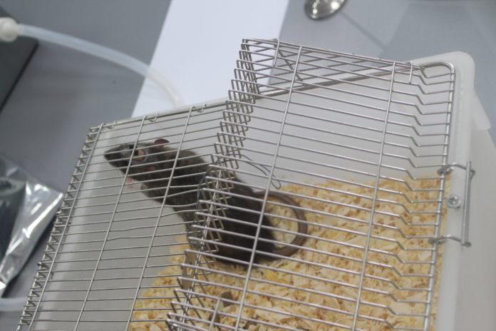 Крыса-диагност с вживленным чипом //Фото: Ольга Медведева, Городской репортер