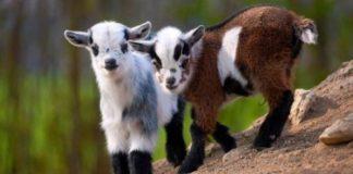 Козы, козлята, коза//Фото: fb.ru