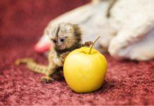 Игрунки//Фото: пресс-служба Ростовского зоопарка