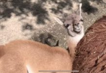 Гуанако//Фото: ростовский зоопарк