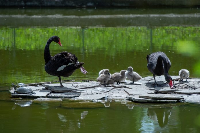 Черные лебеди//Фото: Ростовский зоопарк