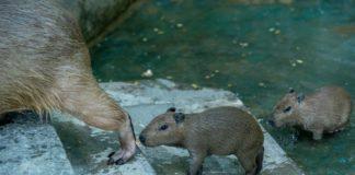 Капибары//Фото: Ростовский зоопарк