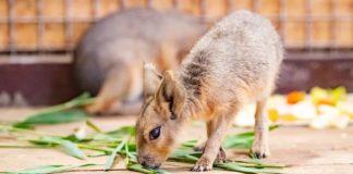 патагонские мары//Фото: ростовский зоопарк