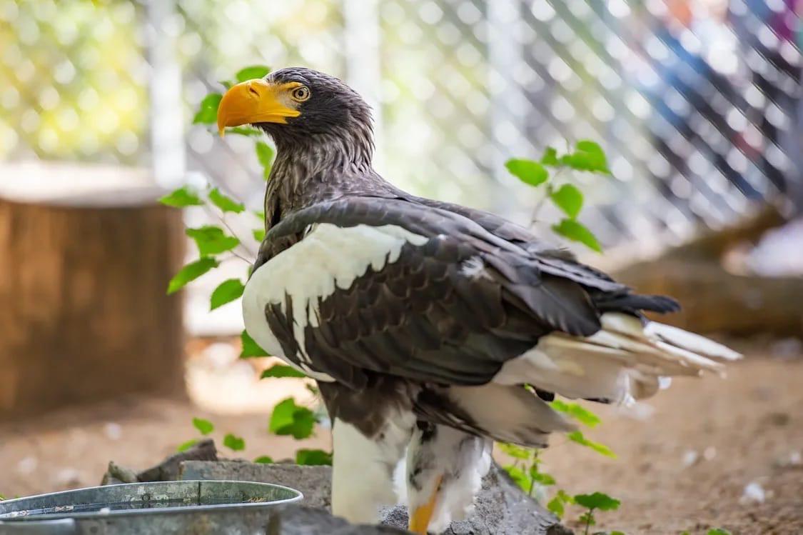 Белоплечий орлан//Фото: пресс-служба Ростовского зоопарка