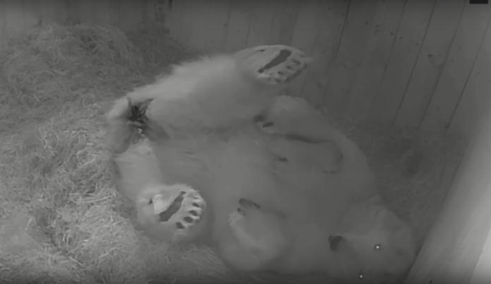 Белая медведица Комета и малыш//Фото: пресс-служба Ростовского зоопарка