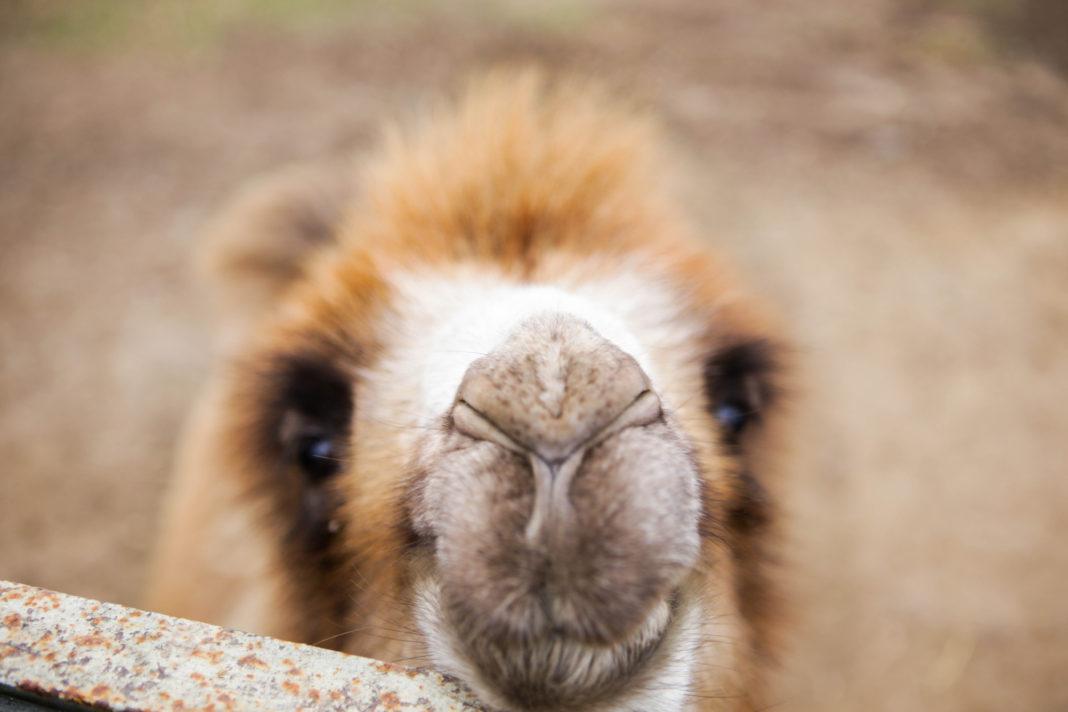 Верблюжонок Веня совсем не боится людей, наоборот, показывает себя со всех сторон. Даже свою улыбку //Фото: Екатерина Мацкиева «Городской репортер»